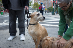 Rix, Terrier Mix (Charley Lhasa) Tags: ricohgrii grii 183mm 28mm35mmequivalent iso400 secatf28 0ev aperturepriority pattern noflash r009895 dng uncropped taken161013160714 uploaded161016010733 3stars flagged adobelightroomcc20157 lightroomcc20157 adobelightroom lightroom charley charleylhasa lhasaapso dog ricks rix dogs dogsmet terriermix sidewalk walk upperwestside uws manhattan newyorkcity nyc newyork ny tumblr161015 httpstmblrcozpjiby2dsep50