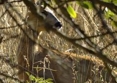 Joven cría // Young breeding {Capreolus capreoulus} (Cazadora de Fotos) Tags: corzo cria roe derr breeding cerca dorado manto golden natura naturaleza escondido mirada photography