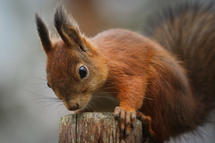 Squirrel, (Sciurus vulgaris) (vilomaki) Tags: squirrel orava sciurus vulgaris nature