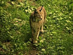 Wildpark Pforzheim, Luchs 75202/7397 (roba66) Tags: luchs iynx raubkatze zoo park wildpark pforzheim nature natur naturalezza tier tiere animal animals creature effecte textur texture