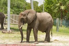 Tampa Zoo (83) 20160813 (gaijinnokoi) Tags: kimler lowry zoo duck tiger elephant giraffe orangatan tampa florida bird nikon d7100 blackandwhite bw