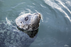 Seal (giloudim) Tags: seal phoque water eau mer sea mamifre extrieur animaux canada victoria