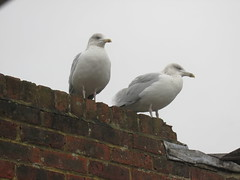 Bob and Gill 151016 (bescotbeast) Tags: bird seagull herringgull denton newhaven avian bobandgill wildlife gulls sussex