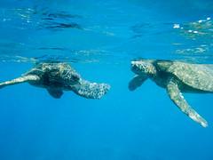 my pals (Ben McLeod) Tags: greenturtle hawaii maui ocean seaturtle snorkeling underwater
