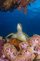 DSC_3097 (Mgungen) Tags: turtle rajaampat indonesia ocean sea reef coral nikon d7100 subal inon z240 tokina1017 scuba dive diving colourful batbitim sunkentreasure award