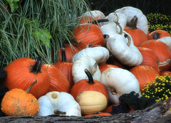 pumpkins and gourds (LotusMoon Photography) Tags: pumpkins gourds fall vegetable nature outdoor display seasons garden farm arboretum colorful annasheradon lotusmoonphotography
