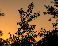 Silhouette Of Leaves (that_damn_duck) Tags: sunset sundown silhouette leaves nature
