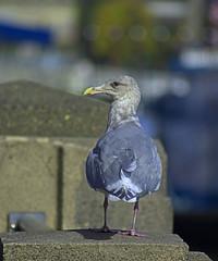 Situational Awareness (swong95765) Tags: bird gull seagull nervous cautious eye watching socialdistance