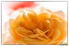 Pinkrose-Edit1.jpg (raysul) Tags: rose closeup beautyinmacro flower pink macro flowerphotography floralart decorative depthoffield