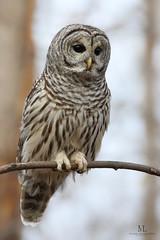 Chouette raye - Barred owl - Strix varia (Maxime Legare-Vezina) Tags: bird oiseau nature wild wildlife animal fauna ornithology biodiversity canon owl winter hiver