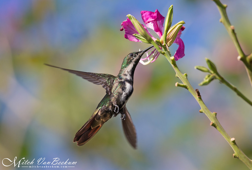 Female Black-Throated Mango Hummingbird