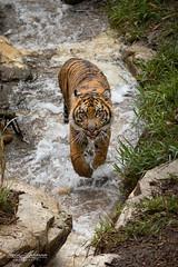 Suka (ToddLahman) Tags: sandiegozoosafaripark safaripark sumatrantiger suka tigers tiger tigercub tigertrail teddy joanne water canon7dmkii canon canon100400 escondido exhibitc