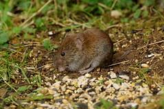 IMGP4100 Bank Vole, Barnwell Country park, October 2016 (bobchappell55) Tags: mammal naturereserve wildlife wild barnwellcountrypark bankvole north northamptonshire