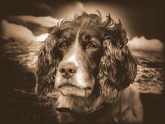 My Girl Mollie (Missy Jussy) Tags: mollie dog pets springerspaniel spaniel englishspringer canon canonpowershotsx60 sepia