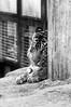Keahi ♂ - Yummy (Harimau Kayu (AKA Sumatra-Tiger)) Tags: keahi fire honoluluborn usa honoluluzoo hawaii honolulu thesmithsoniannationalzoologicalpark washingtondc nationalzoo zoorasia yokohamazoologicalgardens japan tiger cat asian asiancat bigcats sumatran pantheratigrissumatrae animal sumatratiger tigredesumatra суматранскийтигр tygrsumaterský tygryssumatrzański sumatraansetijger szumátraitigris tigre тигр tygr tijger tigris 수마트라호랑이 苏门答腊虎 虎 hổsumatra sumatrakaplanı เสือโคร่งสุมาตรา सुमात्रनवाघ სუმატრისვეფხვი טיגריססומטרה harimausumatera ببرسوماترایی predetor beast carnivorous flesheating tiikeri sumatrantiikeri soy soyono rokan kerinci tondi malosi berani chrissie yagiyama sendai yagiyamazoologicalpark bayu zoo ueno uenozoologicalgardens uenozoo goodlooking selfie tigerselfie breakfast