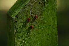 DSC03693.jpg (joe.spandrusyszyn) Tags: oaklandnaturepreserve opiliones arachnid nature lakeapopka byjoespandrusyszyn unitedstatesofamerica florida orlando harvestman arthropod animal