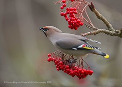 Waxwing (Steven Mcgrath (Glesgastef)) Tags: waxwing bird migrate migrant uk scotland glasgow west end botanic gardens scottish urban city