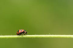 Ladybug crossing (Just_hobby) Tags: ladybird sel50f18 sonya6000 extensiontube insect macro outdoor nature animalplanet