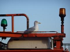 Liver bird (stevenbrandist) Tags: bird crane portofliverpool liverpool merseyside seagull