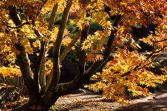 The art of denial (Irina1010 - out) Tags: tree foliage golden leaves autumn colors sunny light season nature canon ngc
