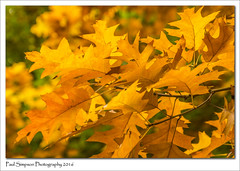 Leaves of Gold (Paul Simpson Photography) Tags: naturalworld nature leaves trees twigs yellow sonya77 sonyphotography paulsimpsonphotography photoof photosof plantlife imageof imagesof october2016 autumn fallcolor fall autumncolour color coloursofautumn