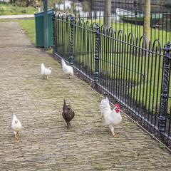 IMG_9616 (digitalarch) Tags: netherlands zaanse schans zaanseschans    chicken