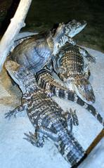 lb-019-2002-012 (Paul-W) Tags: connecticut mysticaquarium 2002 vacation mystic turtle alligator crocodile