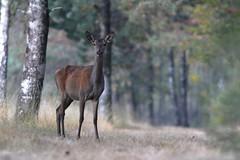 biche. (poun'ish) Tags: biche sauvage cervid deer nature wildlife libre fort