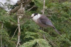 Gray Jay (Jim McCree) Tags: perisoreuscanadensis grayjay milfordmaine sunkhazenwr december 2016 boreal