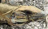 Iguana (littlestschnauzer) Tags: iguana lizard reptile scales skin eye face scaly mexico wildlife nature 2016 summer watching nikon d7200