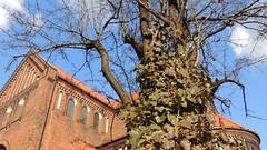 Drzewo przy Sanktuarium św. Józefa