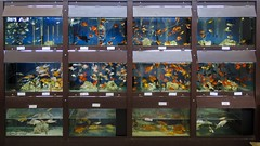 Aquarismo 02 (Parchen) Tags: aqurio aquarismo aqurios peixes ornamentais guadoce criao venda loja exposio coloridos variedade peixestropicais foto fotografia imagem registro parchen carlosparchen