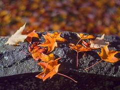PA180206 - Graveyard of Colors (Syed HJ) Tags: olympusomdem5 olympusem5 olympus em5 fujian35mmf16 fujian35mm fujian 35mm cctvlens foliage folliage fallfoliage autumn leaves nashua nashuanh edgewoodcemetery edgewoodcemeterynashuanh