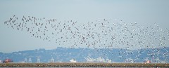 Flock of wading birds, public shoreline, Milbrae 0681_ADSC_0681 (wbaiv) Tags: birds san francisco bay international airport flock white underside bird feathers together morethanone flying floating flapping gliding airborne