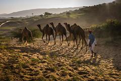 L1003311.jpg (Bharat Valia) Tags: pushkarfair bharatvalia desert rajasthanportraits bharatvaliagmailcom sheperd pushkarimages pushkarmela festivalsofindia camel pushkarcamelfair pushkar