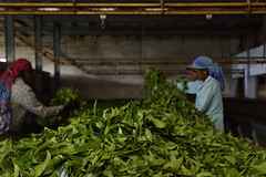 Sorting Tea Leaves (code_martial) Tags: d3300 1685mmf3556gvr ooty2016 coonoor