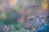 delicate transience (evibaumann) Tags: blumen sträucher fujixt10 helios402 natur vielfalt bunt