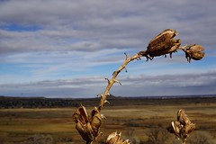 Pods on the Prairie (Let Ideas Compete) Tags: bouldervalleyranch boulder colorado winter november prairie foothills hike leaning