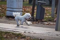Speedy/Brzi (salaminijo) Tags: outdoor walk pets pet dogs canon eos 55250mm detail camera photo dog puppy lights november novembar pas ser bgd belgrade atmosphere beograd 1000d photographers amateur