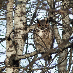 Great Horned Owl male (annkelliott) Tags: calgary alberta canada fishcreekpark nature ornithology avian bird birds birdofprey owl greathornedowl bubovirginianus adult male perched tree branch distant frontview outdoor fall autumn 27november2016 fz200 fz2004 annkelliott anneelliott anneelliott2016 allrightsreserved