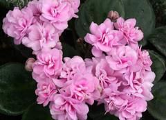 26-IMG_4759 (hemingwayfoto) Tags: berggartenhannover blhen blte blume flora floristik natur topfpflanze usambara usambaraveilchenwithney veilchen zierpflanze zuchtform