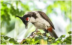 KEEP CALM and CHOOSE ONE (Ramalakshmi Rajan) Tags: redwhiskeredbulbul bulbul birds bird nikon nikond5000 nikkor70300mm inmygarden