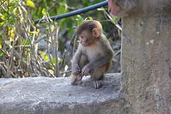 DSC_3449littlemonkey (BasiaBM) Tags: swayambhunath monkey temple kathmandu nepal