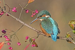 Kingfisher (Alcedo atthis) (phil winter) Tags: kingfisher alcedoatthis female perchedonspindle