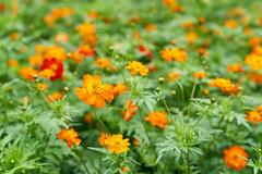 Hamarikyu Onshi Teien (yiming1218) Tags:  hamarikyu onshi teien garden   shiodome bokeh flower nature sony sel2470gm gm g master fe 2470mm f28 tokyo japan japanese