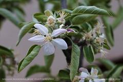 Apple bloom 2016 (srkirad) Tags: bloom apple flower white green spring fruit jabuka cvet