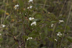 "Snowberries • <a style=""font-size:0.8em;"" href=""http://www.flickr.com/photos/63501323@N07/31343016475/"" target=""_blank"">View on Flickr</a>"