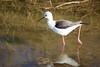 Spain (Bob Bain1) Tags: europeanwildlife birdlife blackwingedstilt nature lopagan spain europeanbirds marmenor murciaregion sanpedrodelpinatar salinas salinasyarenals salinasyarenalesdesanpedrodelpinatar
