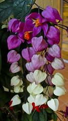 Lgrima de Cristo  com sementes (srie com 4 fotos) (Parchen) Tags: flores cores foto natural natureza flor vermelho linda bonita roxa beleza fotografia ornamental bela sementes lindas cor branca imagem bonitas cacho tons lils trepadeira registro delicadas degrad tonalidades clerodendrumthomsoniae clerodendrumbalfouri clerodendrumthomsonae parchen carlosparchen lgrimadecristobranca esmaecendo clorodendrotrepador
