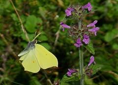 Brimstone ----- Gonepteryx rhamni (creaturesnapper) Tags: uk europe butterflies lepidoptera brimstone pieridae coliadinae